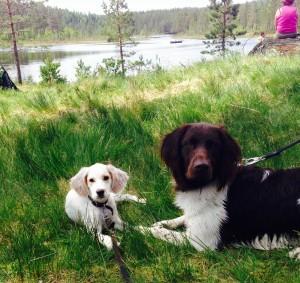 Idun og Hjalmar koser seg mellom apport-treningen Foto:  Ingrid Ballangrud Borgli
